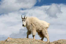 Mountain Goat With Cloud Background On Top Of Harney Peak In Custer State Park In The Black Hills Of South Dakota USA