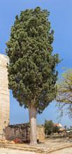 Ancient 200 Years Tipuana Tipu...