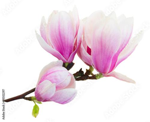 Foto op Plexiglas Magnolia Blossoming pink magnolia Flowers