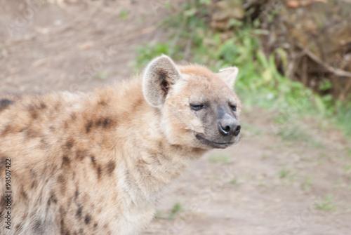 Garden Poster Hyena Zootiere