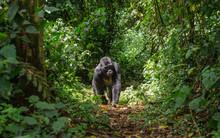 Dominant Male Mountain Gorilla...
