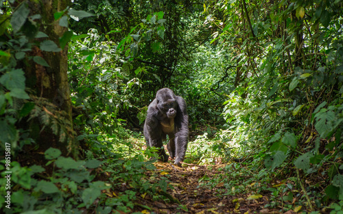 Dominant male mountain gorilla in rainforest. Uganda. Bwindi Impenetrable Forest National Park. An excellent illustration.