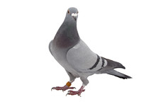 Grey Sport Pigeon Isolated On ...