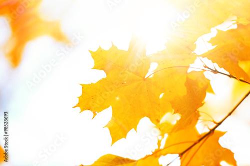 Fototapeta Beautiful autumn maple leaves on tree in park obraz na płótnie