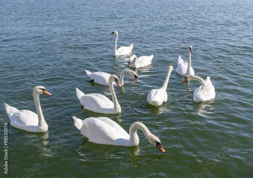 Fotografie, Obraz  Floating white swans