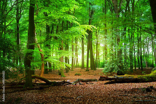 Poster Forets Spring forest in the Netherlands