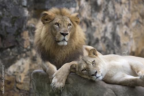 Foto op Plexiglas Leeuw Lion face (front look close up) resting on top of a rock