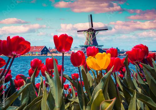 blossom-tulipanow-w-holenderskiej-miejscowosci-ze-slynnymi-wiatrakami