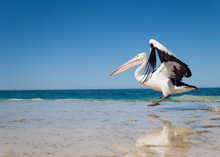 Australia, Yanchep Lagoon, 04/18/2013, Australian Pelican Taking Off In Flight From An Australian Beach