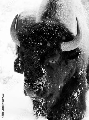 La pose en embrasure Bison bison bull snowing black and white face portrait
