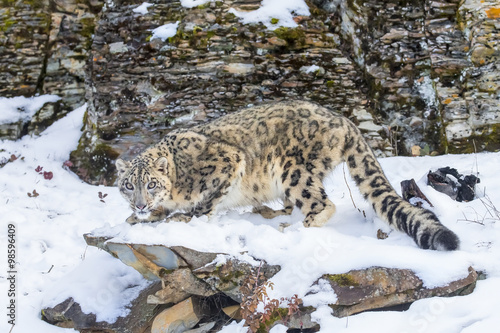 Photo Stands Panther Snow Leopard