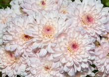 Cute Light Pink Daisy Flower