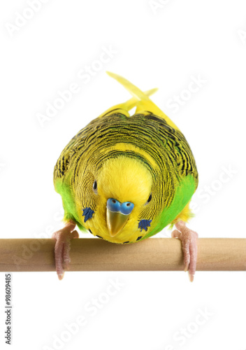 Budgerigar. Parrot isolated on white background. Canvas Print