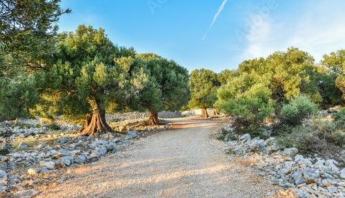 Foto op Plexiglas Olijfboom Olive tree garden