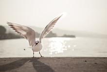 Screaming Seagull