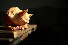 Chihuahua Dog Lying On A Table