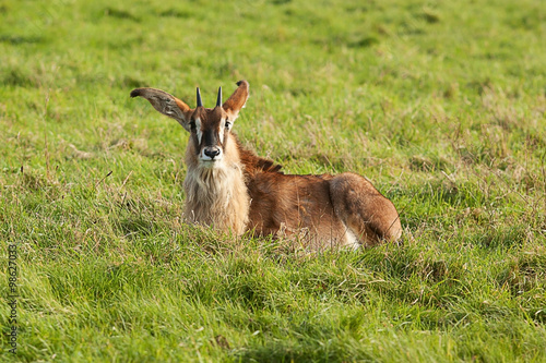 Fotografie, Obraz  Resting young Sable Antelope