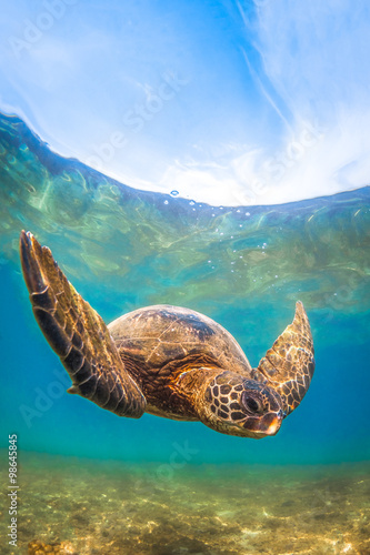 Poster Tortue Hawaiian Green Sea Turtle cruising in the warm waters of the Pacific Ocean in Hawaii