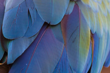 Detail Of Macaw Parrot Wing Fe...
