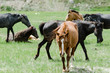 Wild horses eat in forest clearing in Jammu Kashmir, India