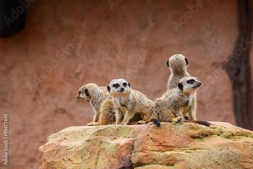 Photo  Meerkat watchtower