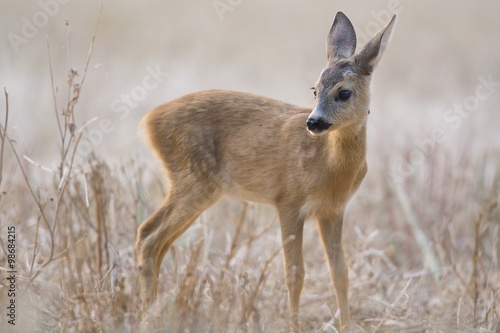 Roe calf on the field Poster