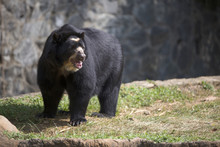 Portrait Of Spectacled Bear (T...