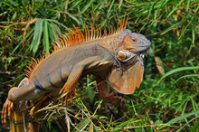 Large Orange Iguana From Costa Rica Lying In The Sun Between The Bushes