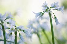 Masses Of Wild Garlic Flowers:...