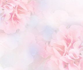 Fototapeta sweet hydrangea flower