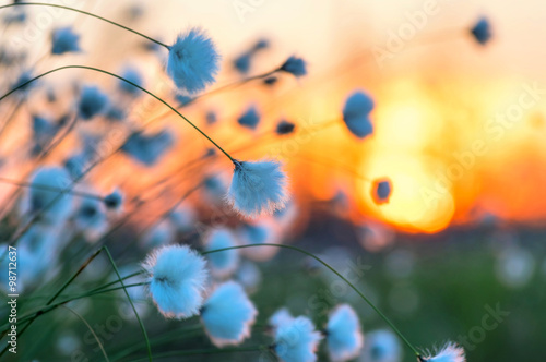 Poster Melon Cotton grass on a background of the sunset sky