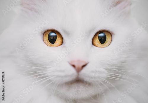 Foto op Aluminium Kat White cat