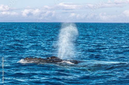 Valokuva  Humpback Whale spouting in Maui