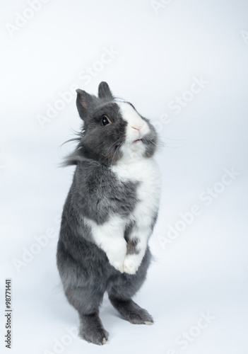 Pet Rabbit Standing On Hind Legs Buy This Stock Photo And Explore