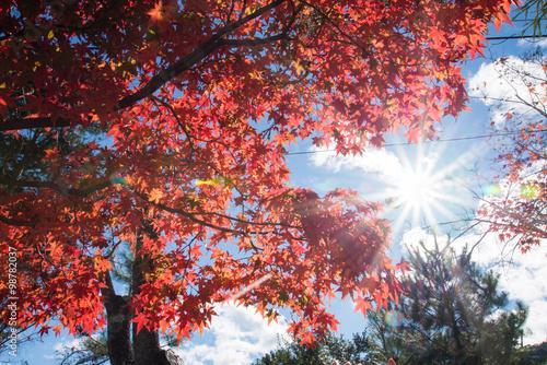 Keuken foto achterwand Rood paars Colorful leaves on maple tree in garden