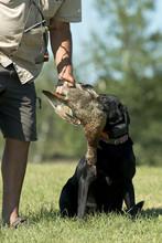 Dog Training With A Black Lab
