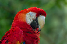 Sleeping Macaw Parrot