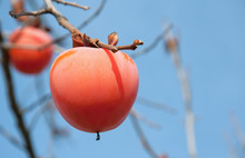 Japanese Persimmon Tree With Fruits.