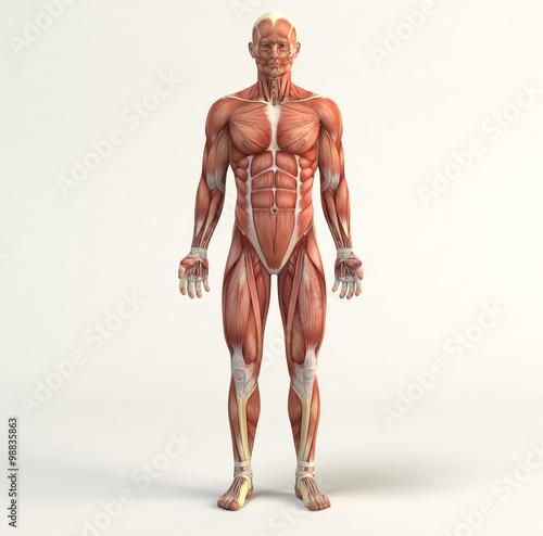 Fotografie, Tablou  Muscular system