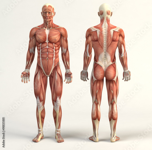 Muscular system Tablou Canvas