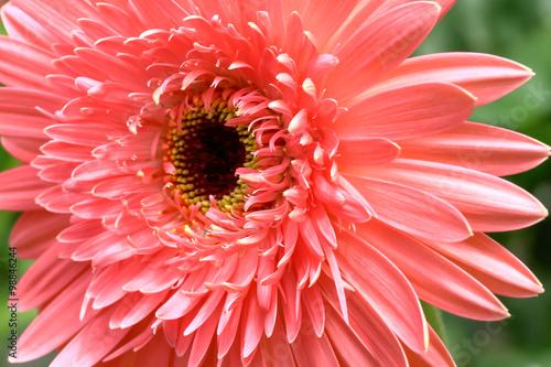 Foto op Canvas Madeliefjes chrysanthemum mum flower