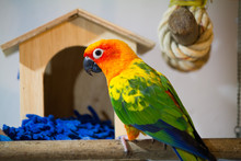Beautiful Sun Conure Playing I...