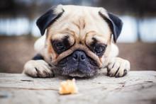 Cute Pug Puppy Dog