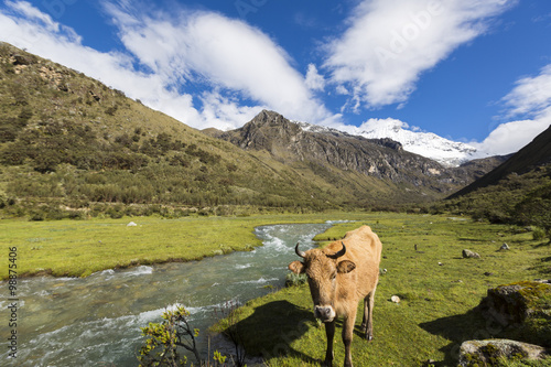Photo  Snow covered mountain peak and cow in the field, Cordillera Blan