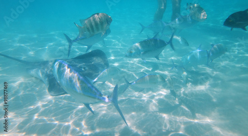 Fototapety, obrazy: Marine life on the sandbank in the lagoon of Moorea, French Polynesia.