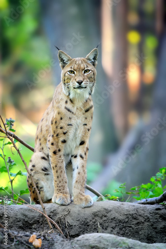 Foto auf Leinwand Luchs Young Lynx in spring time