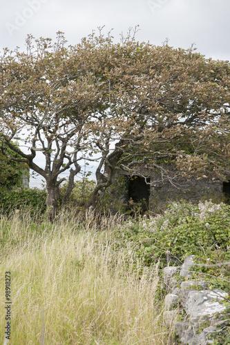 Valokuva  Windswept Tree, Inishmore; Aran Islands