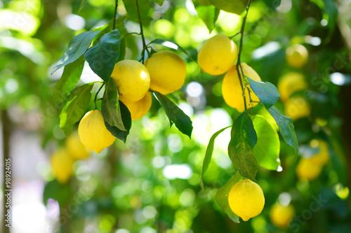 Fotografie, Obraz  Bunch of fresh ripe lemons on a lemon tree branch