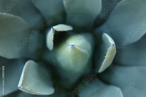 Foto op Canvas Cactus Blue Agave