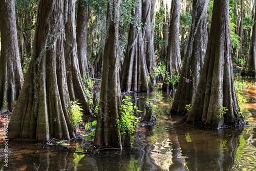 Poster Texas Roots of Cypress trees at Caddo Lake, Texas